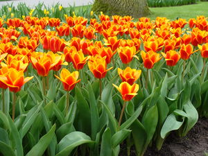 "Tulipa ""early Harvest"""