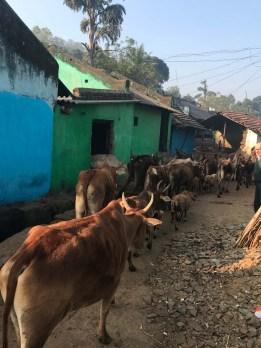 Le mucche escono dal villaggio Mali Dhoulir Ambo