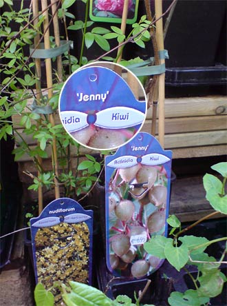 Kiwipflanze Jenny