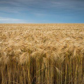 Landscape photography of Golden Barley Field