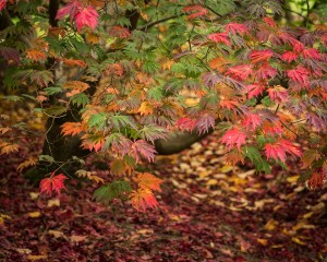 Landscape Photography of red Acer