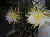 Cactus bloomin