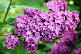 Pranostiky - květen