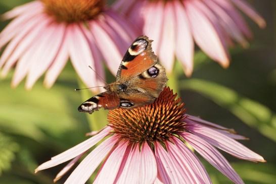 Třapatka (Echinacea)