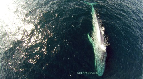 An aerial view of the first blue whales of the season to cruise past Dana Point. Photo: Copyright David Anderson/DolphinSafari.com