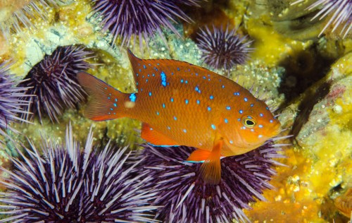 A juvenile garibaldi is observed on a Reef Check dive against the backdrop of an anemone below the waters of the Dana Point State Marine Conservation Area, near Salt Creek Beach, on Sunday, June 1. The nonprofit Reef Check records data on underwater ecosystems around the globe. Photo: Michelle Hoalton