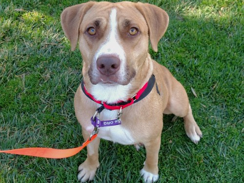 Apricot. Photo: Courtesy of the San Clemente-Dana Point Animal Shelter