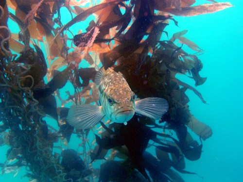 A kelp bass swims through the Wheeler North Reef. The amount of fish at the reef has not met its goals since 2009, and a proposal to expand the reef or make improvements to it could be brought to the California Coastal Commission within the next year. Photo: Courtesy of UC Santa Barbara