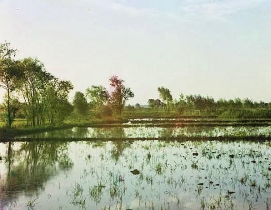 Rice fields in Samarkand