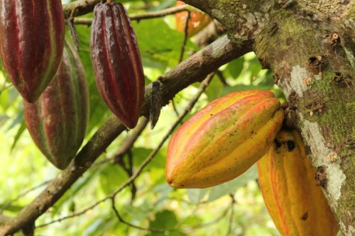 Education Station: Is that Cacao Pod Ripe?