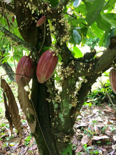 Cacao pods on a tree in Belize