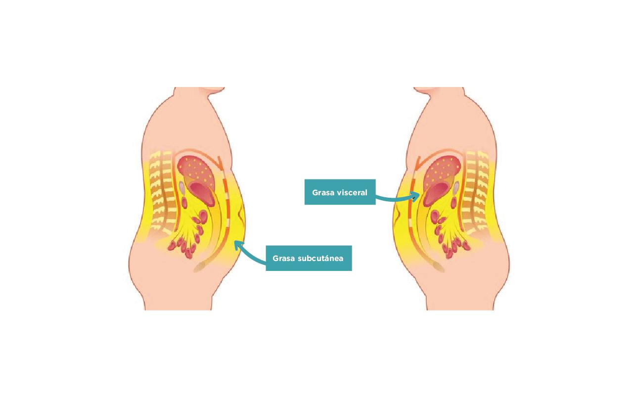 Comparativa entre la grasa visceral y subcutanea de dos cuerpos
