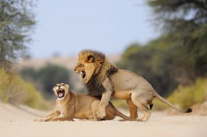 Male Lion Alpha Male