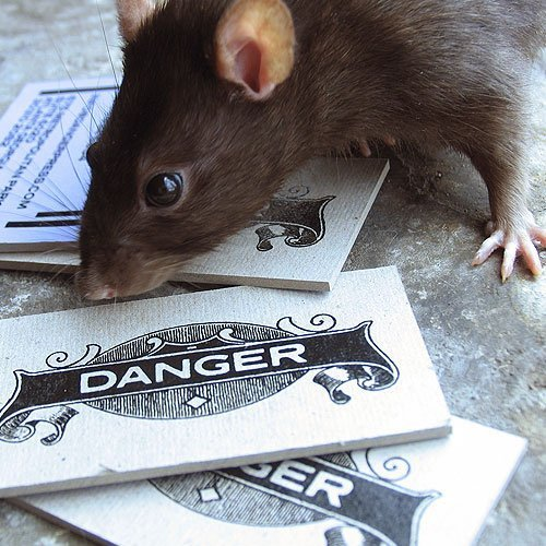 Danger business cards with a rat