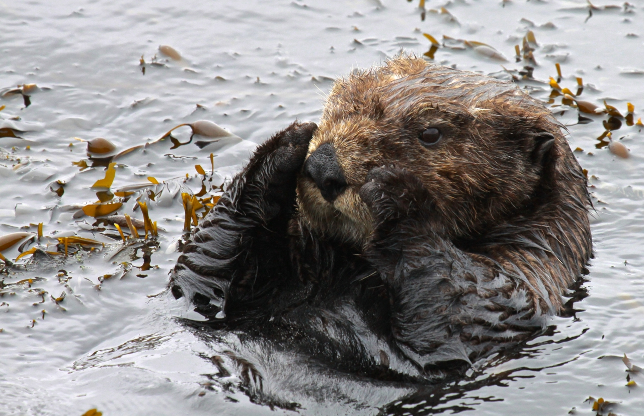 How Otters Eat Urchins | Animals - mom.me |Sea Otters Eating Bears