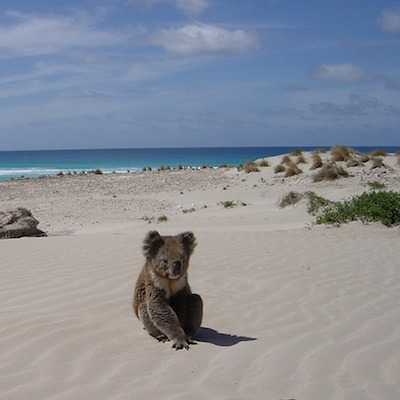 A Drop Bear venture into the open searching for menthols and a lager.