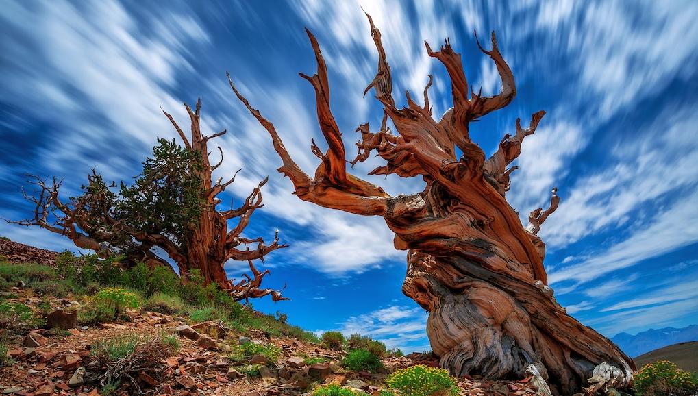 MAinpinus longaeva tree - Pohon Ini Diklaim Umur Terpanjang di Dunia