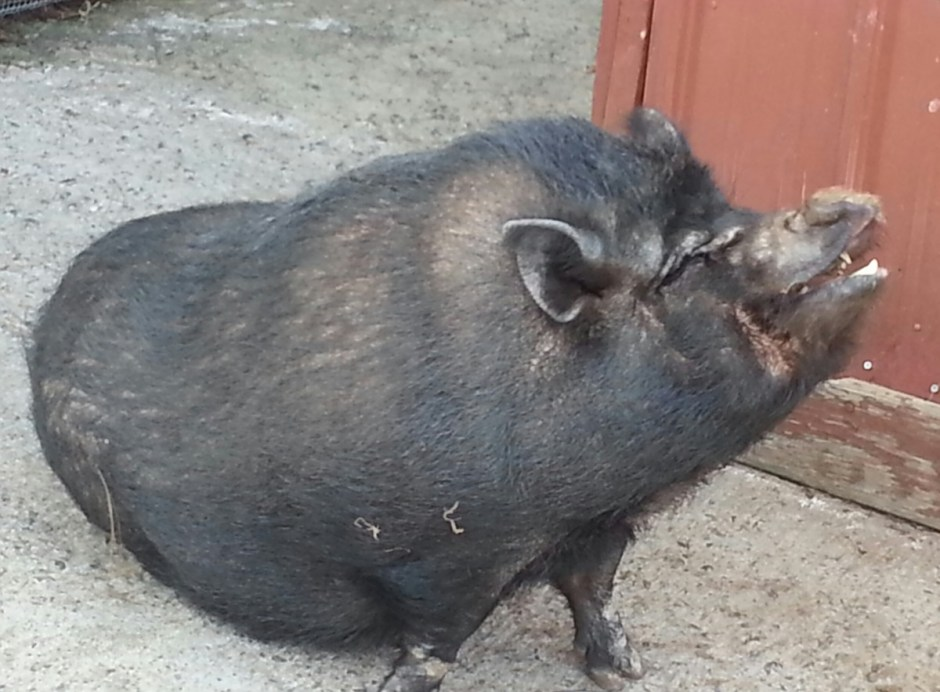 Pot-bellied Pig at Patti's 1880's Settlement