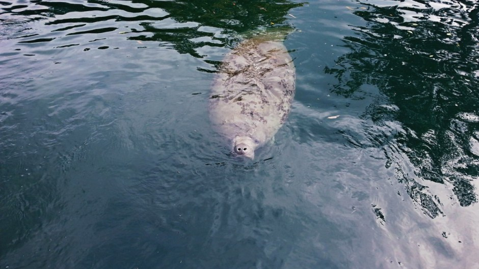Swimming with Manatees - Catching a Breath
