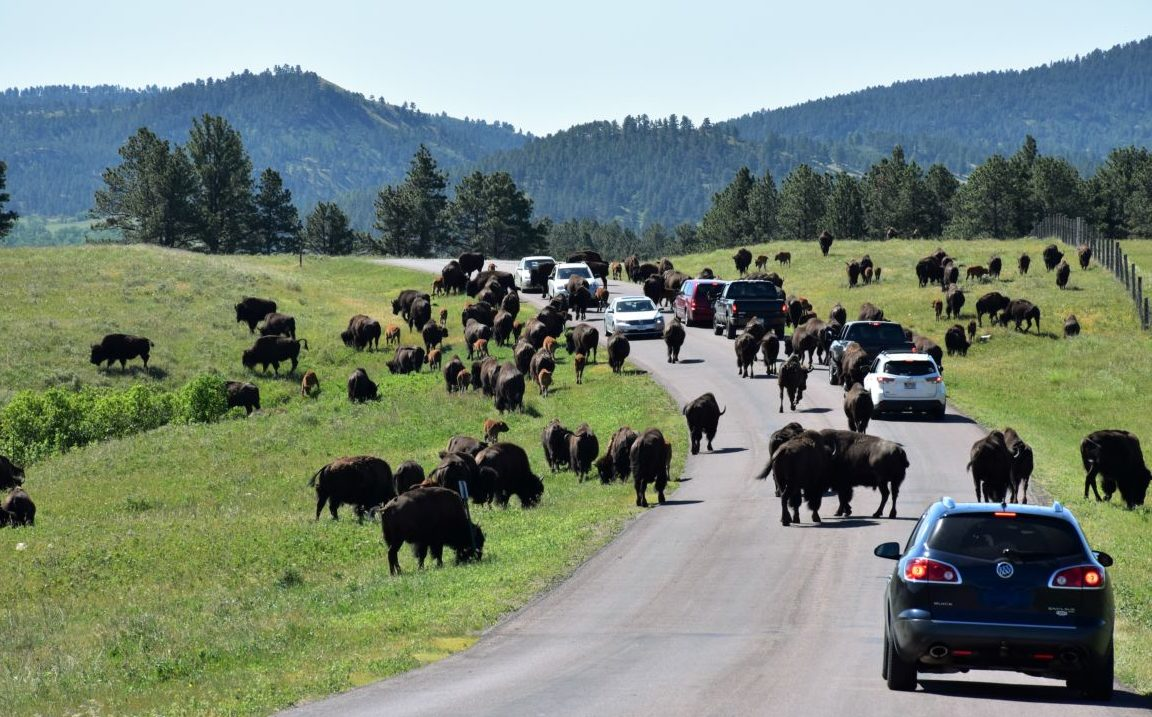 10 Reasons to Visit Custer State Park in South Dakota