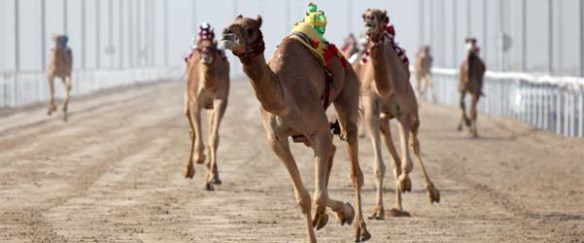 Al Marmoum Racing Camel