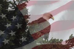 4-35 Bald Eagle_AMERICAN FLAG