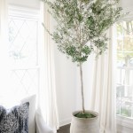 How To Care For An Indoor Olive Tree Danielle Moss