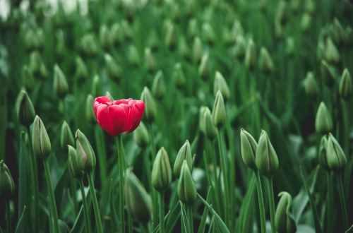 selective focus photo of a red tulip flower anders zijn.