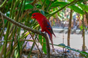Red Parrot at Taronga Zoo in Sydney