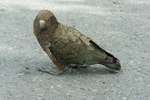 Beautiful Kea on the way to Milford Sound