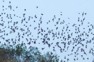 Bat Exodus near Battambang