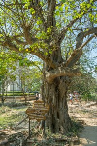 Magic Tree near Phnom Penh