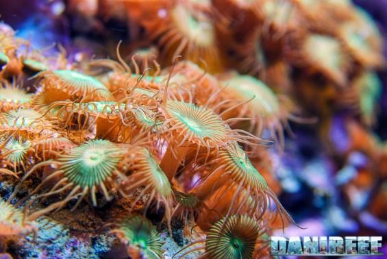 200709 coralli molli, palythoa 07 Copyright by DaniReef