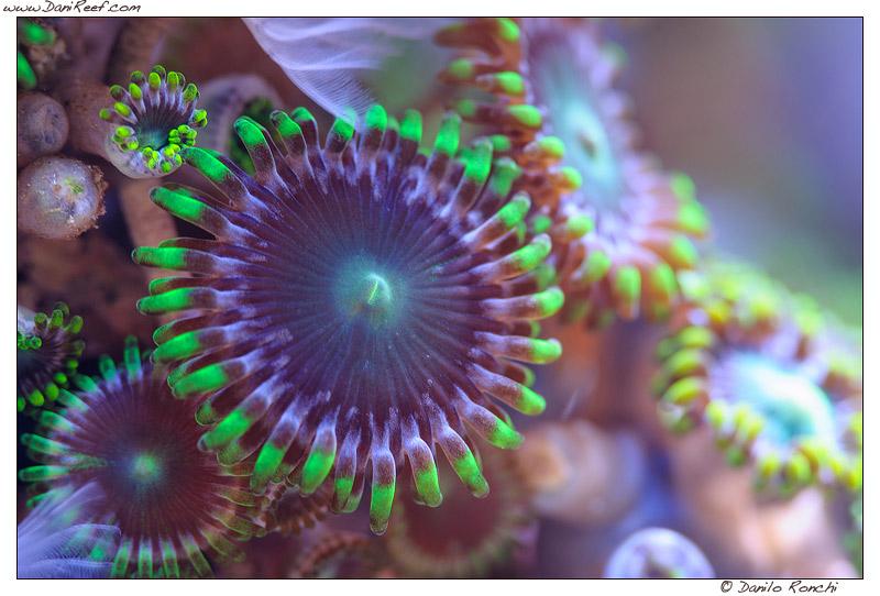 Andrea 39 s negusanti marine aquarium tank of the month for Immagini coralli marini