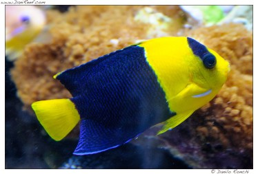 centropyge_bicolor_pesce_angelo_oriole_angelfish_03