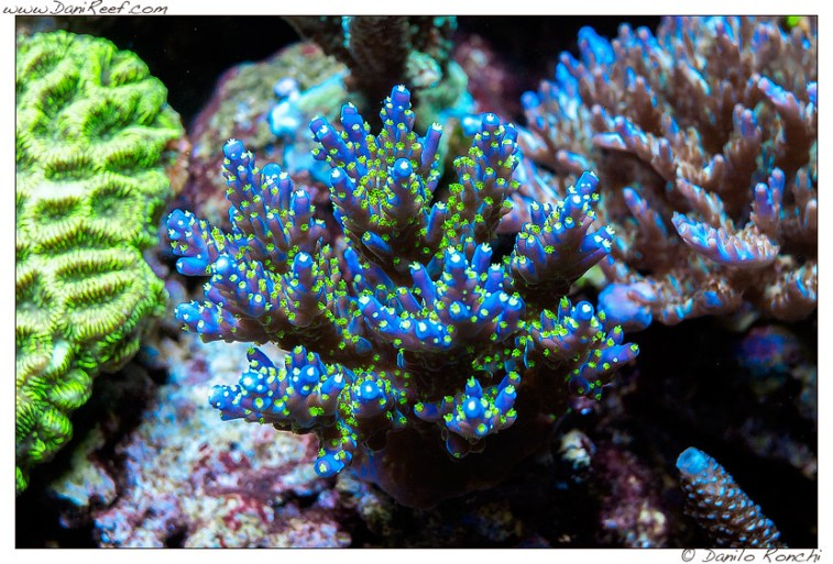 Acropora tricolor