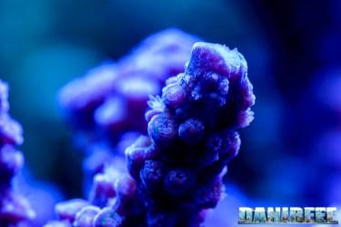 2015_01_DaniReef_Acquario_Massimiliano_Ghelfi_acropora, coralli, loisetteae, macro, sps_27