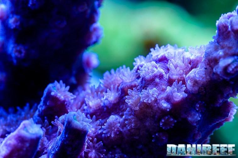 2015_01_DaniReef_Acquario_Massimiliano_Ghelfi_acropora, coralli, loisetteae, macro, sps_30