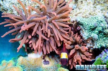 2015_01_DaniReef_Acquario_Massimiliano_Ghelfi_anemone, biaculeatus, entacmaea, pesci, premnas_54