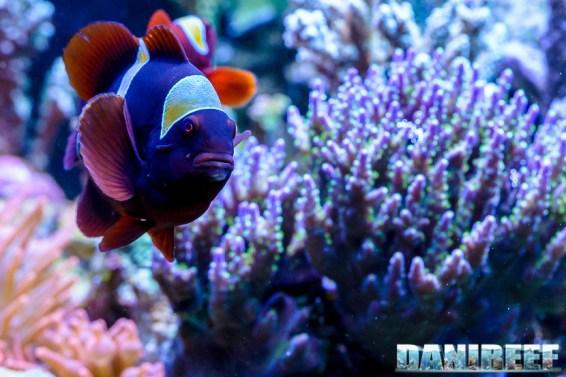 2015_01_DaniReef_Acquario_Massimiliano_Ghelfi_biaculeatus, pagliaccio, pesci, premnas_43