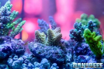 2015_10 petsfestival corallinea coralli sps acropora 04
