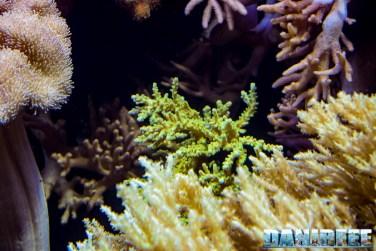 2015_12 Acropora at Madagascar Reef Aquarium at Zoo Zurich36