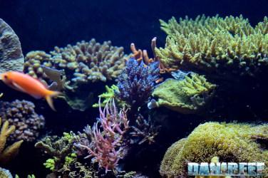 2015_12 Blu Acropora t Madagascar Reef Aquarium at Zoo Zurich40