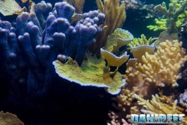 2015_12 Montipora and Stylophora at Madagascar Reef Aquarium at Zoo Zurich72