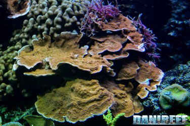 2015_12 Montipora foliosa at Madagascar Reef Aquarium at Zoo Zurich41
