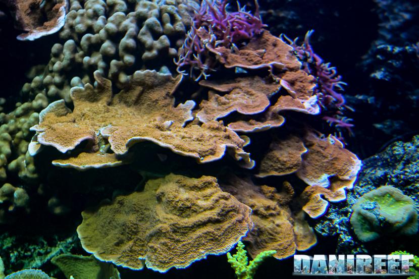 2015_12 Montipora foliosa at Madagascar Reef Aquarium at Zoo Zurich41