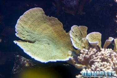 2015_12 Montipora foliosa at Madagascar Reef Aquarium at Zoo Zurich71