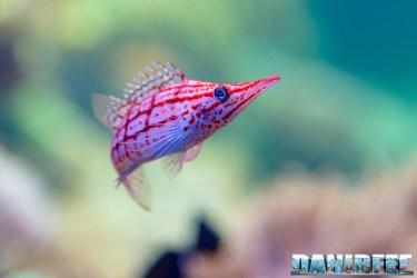 2015_12 Oxycirrhites typus at Madagascar Reef Aquarium at Zoo Zurich02