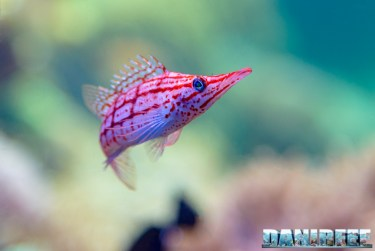 2015_12 Oxycirrhites typus at Madagascar Reef Aquarium at Zoo Zurich02