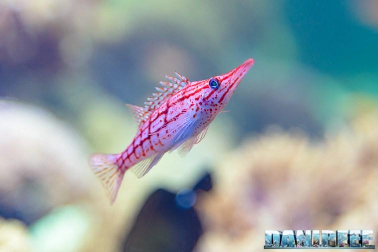 2015_12 Oxycirrhites typus at Madagascar Reef Aquarium at Zoo Zurich06